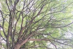 Formulário e textura bonitos do ramo de árvore grande Fotos de Stock