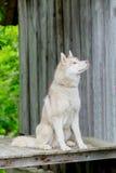 Fornido Perro adulto que se sienta en una plataforma de madera edad 2 años Fotos de archivo
