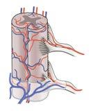 Fornitura di sangue a midollo spinale Fotografia Stock Libera da Diritti