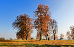 Forntida Autumn Beech Trees längs den Knifghtley vägen, Fawsley, Northamptonshire Arkivbild