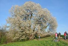 Forntida Cherry Tree Royaltyfri Fotografi