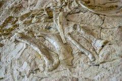Forntida dinosaurieben inbäddade i stenig dalvägg Arkivbilder