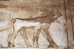 Forntida egyptiska gravyrer som visar tjurar royaltyfria bilder