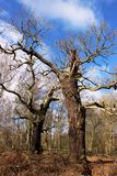 Forntida ekar, Sherwood Forest i tidig vår Arkivbilder