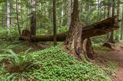 Forntida Forest Habitat Arkivbild