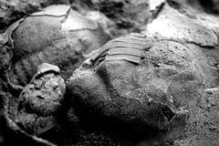 Forntida fossil- trilobite i ett stycke av kalksten i svartvitt Arkivbild