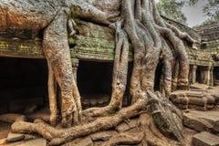 Forntida fördärvar, och trädet rotar, templet för Ta Prohm, Angkor, Cambodja Royaltyfri Fotografi