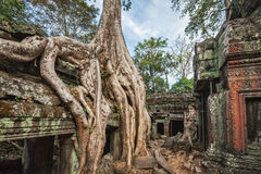 Forntida fördärvar, och trädet rotar, templet för Ta Prohm, Angkor, Cambodja Royaltyfri Bild
