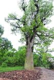 Forntida kamferträd-Cinnamomum camphora Royaltyfria Bilder
