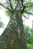 Forntida kamferträd-Cinnamomum camphora Royaltyfri Foto