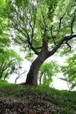 Forntida kamferträd-Cinnamomum camphora Royaltyfri Bild
