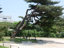 Forntida lutande träd i Seoul, Sydkorea Arkivbilder