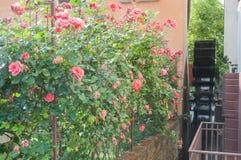 Forntida mala på Sile River med rosträdgården i mitt av Treviso Fotografering för Bildbyråer