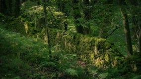 Forntida mossig vägg i skogen lager videofilmer