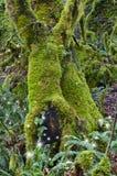 Forntida mossiga lönnträd i skog med feer Arkivbild