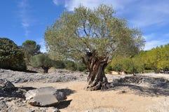 forntida olive tree Arkivfoto