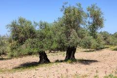 forntida olive tree Bibel och landskap f?r minne f?r heligt land historiskt royaltyfri fotografi