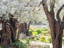 Forntida Olive Trees på trädgården av Gethsemane Jerusalem arkivbild