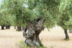 Forntida olivgrön Tree Arkivbild
