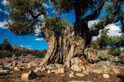 Forntida olivträd Arkivfoto