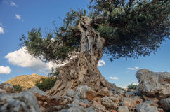 Forntida olivträd Royaltyfri Foto