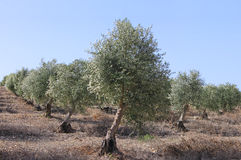 Forntida olivträd royaltyfria bilder