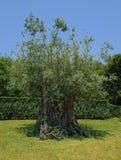 Forntida olivträd 1500 gamla år Royaltyfri Bild