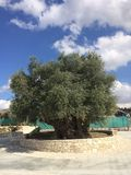 Forntida olivträd i Cypern royaltyfri bild
