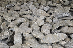 Forntida ostronfossil Royaltyfri Bild