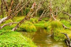 Forntida Polylepis skog Royaltyfri Fotografi