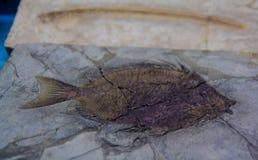 Forntida pre historiskt fiskfossil i ett vaggabildande Royaltyfria Bilder