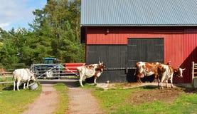 forntida skapade traditioner för turister för mejerilantgårdnational fungerar special Kor går till ladugården på att mjölka Royaltyfria Bilder