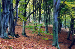 forntida skog Royaltyfri Foto
