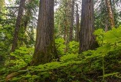 Forntida skog i British Columbia, Kanada arkivbild