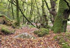 Forntida skogsmark Arkivfoton