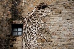 Forntida stenväggar, den resterande banyanen rotar på väggen, stenväggar och rotar in i en bildsammansättning, Arkivfoton