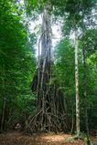 Forntida träd i den Peucang ön Royaltyfria Bilder
