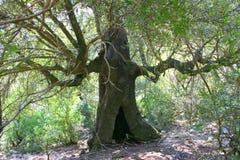 forntida tree Royaltyfri Fotografi