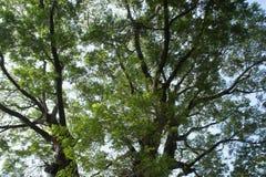 Forntida tree Royaltyfria Foton