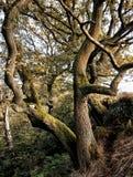 Forntida vridna bokträdträd i skogsmark för brant backe med mossa royaltyfri foto
