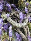 Forntida wisteriaväxt Royaltyfria Foton