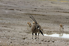 Foro di innaffiatura vicino del Gemsbok, parco nazionale di Etosha, Namibia Fotografia Stock Libera da Diritti