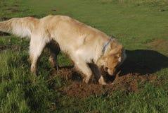 Foro di scavatura del cane del documentalista dorato immagini stock libere da diritti