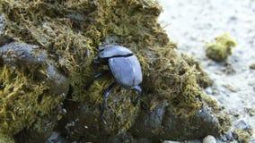 Foro di scavatura dell'insetto in erba video d archivio