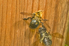 Foro di scavatura femminile del nido dell'ape di carpentiere Fotografia Stock Libera da Diritti