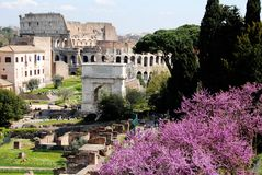 Foro Romano (Roman Forum) and Colosseum,Rome,Italy. Foro Romano,Roman Forum,inscribed on the UNESCO World Heritage list,with pink flowers at the side of it in Royalty Free Stock Photos