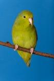 Forpus verde Coelestis Fotografie Stock