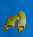 Forpus verde Coelestis Fotografía de archivo