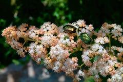 Forra dourada dos besouros (aurata do Cetonia) em uma flor Rogers Fotografia de Stock Royalty Free