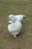 Forragem de duas galinhas de Silkie para o alimento na terra Imagens de Stock Royalty Free